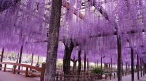 天王川公園の藤