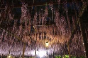 天王川公園の藤棚のライトアップ