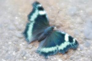 ソフトレンズにて蝶。